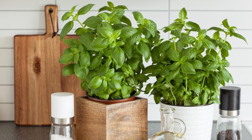 cultiver ses plantes aromatiques m me en appartement le. Black Bedroom Furniture Sets. Home Design Ideas